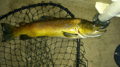 22 inch Brown trout